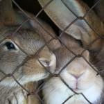 Buying a Rabbit