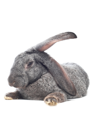 Giant Rabbit Breeds