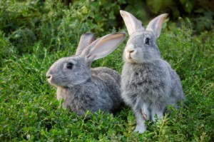 Rabbits don't want to mate